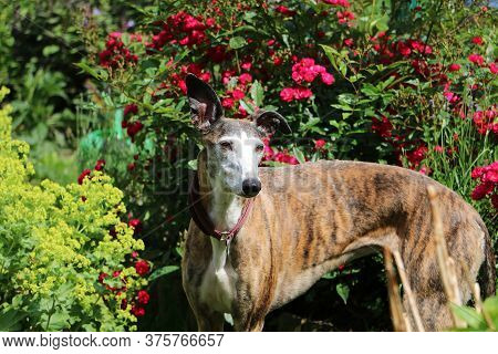 Beautiful Galgo Is Standing In The Flowerbed With Roses In The Garden