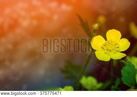 Bright Yellow Flowers Buttercups On A Background Summer Landscape.