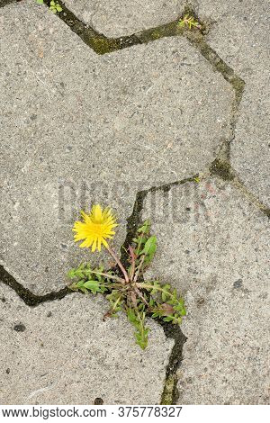 Top View Of Yellow Dandelion Flower Between Grey Paving Stones. High Resolution Photo. Full Depth Of
