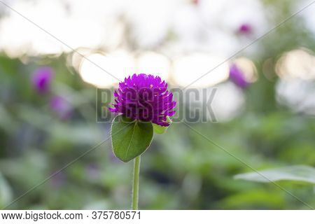 Purple Globe Amaranth Or Bachelor Button Flower Bloom With Sunlight In The Garden On Blur Nature Bac