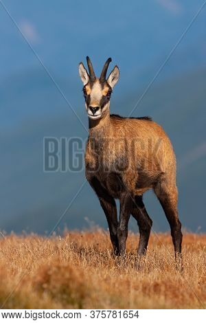 Young Tatra Chamois Standing On Horizon In Mountains In Summer Nature.