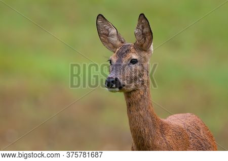 Roe Deer Doe Standing On Meadow In Nature From Close Up.