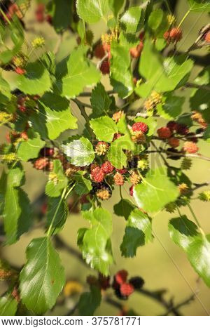 Berries Of Ripened Black Mulberry On A Tree On A Sunny Day In The Home Garden On A Blurred Backgroun