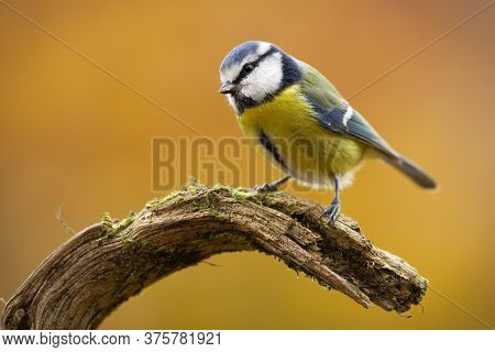 Cute Eurasian Blue Tit Sitting On Branch In Nature.