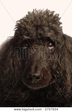 Standard Poodle Head