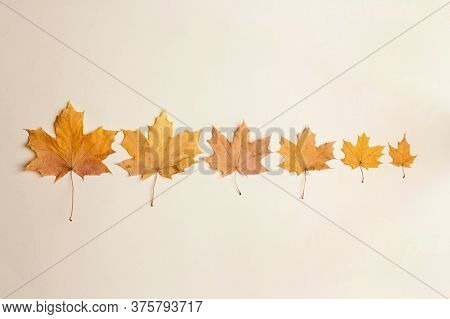Evolutionary Row Of Autumn Maple Leaves On Beige Background. Flat Lay. Season Concept.