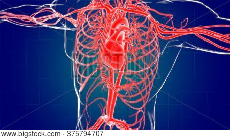 Human Heart With Circulatory System Anatomy For Medical Concept 3D