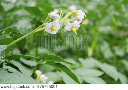Flowering Potato. Potato Flowers Blossom In Sunlight Grow In Plant. White Blooming Potato Flower On