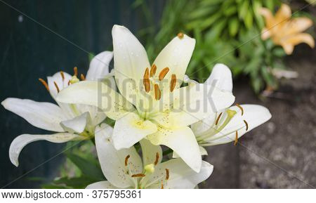 Lilies Are Blooming. Garden Flowers, Yellow Lily, Royal Flower. Rural Life. Summer Beauties Of The G