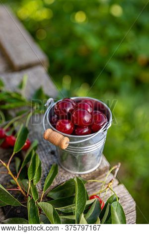 Delicious Sour Cherries In A Small Metal Bucket, Outdoor Shot