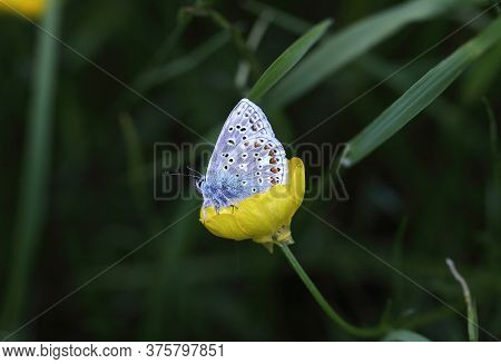 Male Common Blue Butterfly Resting In A Buttercup In A Field.
