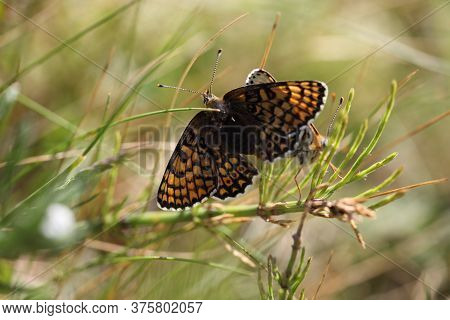 Glanville Fritillary Resting In Sand Dunes On The Isle Of Wight, England