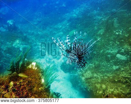 Lionfish (pterois Volitans) Under Water On A Sunny Day