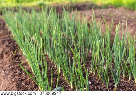 Garden, Green Onions. Greens For The Salad. Natural Product. Good Nutrition. Rustic Style.