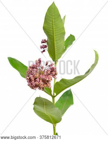 Asclepias Syriaca, Commonly Called Common Milkweed, Butterfly Flower, Silkweed, Silky Swallow-wort.