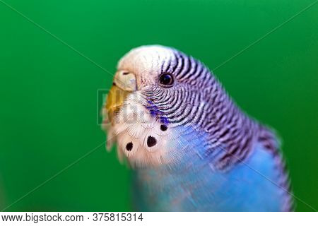Spot Focus On The Bird's Plumage, Male Budgerigar, Blue Color.