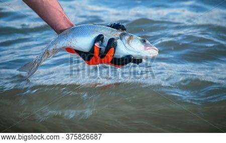 Fisherman Releasing A Seabass Back Into The Sea