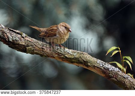 The House Sparrow (passer Domesticus) Sitting On A Branch Overgrown With Lichen. House Sparrow With