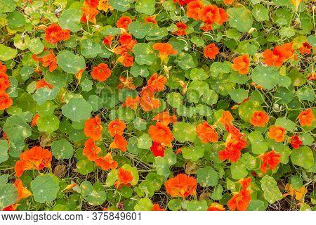Backgorund With Betautiful Orange And Eatable Nasturtium Flowers.
