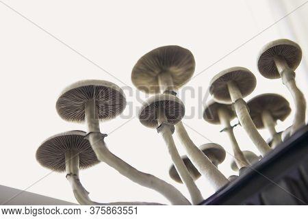 Fungi Hallucinogen. Medical Research Of Psilocybin . Fresh Psilocybin Shroom. Psilocybin Cubensis Mu