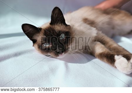 Cute Balinese Cat Laying And Looking At Viewer. Fluffy Cat With Blue Eyes. Oriental Breed Cat Relaxi