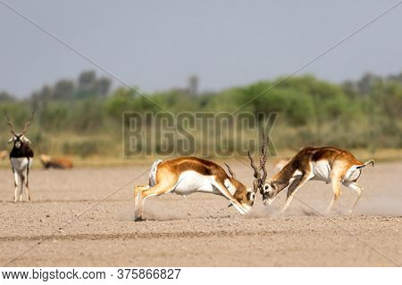 Two Male Blackbuck Fighting In An Open Field Antilope Fighting With Full Force From Long Horns In Gr