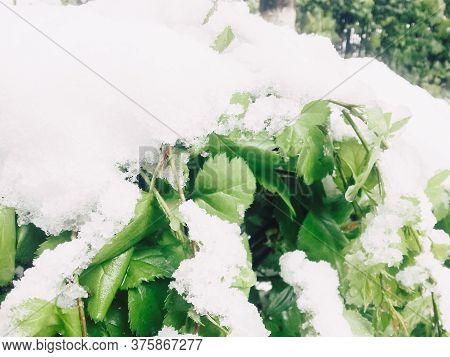 Strange Weather. White Snow On Green Bush Leaves In Plain Summer