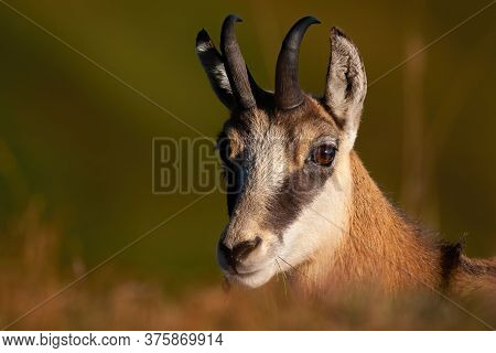 Portrait Of Tatra Chamois Looking To The Camera.