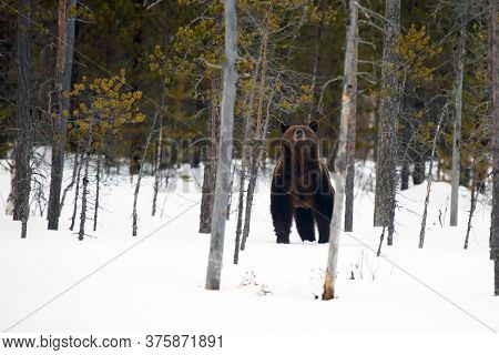 The Brown Bear (ursus Arctos) On The Snow In The Taiga. An Atypical Image Of A Big Bear In The Snow,