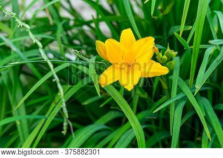 Daylily Yellow Flower On A Background Of Leaves