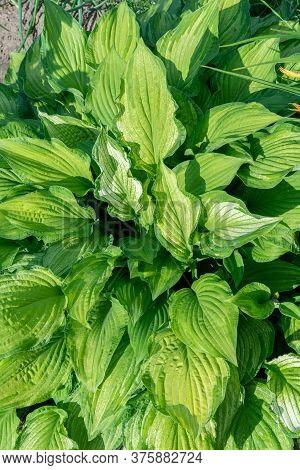 Hosta Plantain Closeup Large Leaves. Lush Foliage