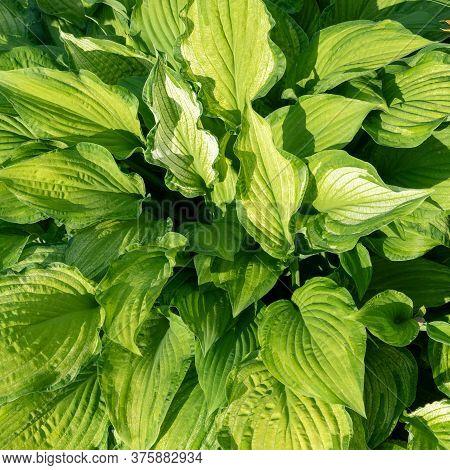 Hosta Plantain Closeup On A Sunny Day. Dense Foliage