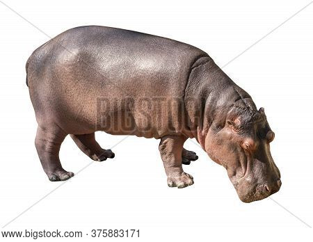 Isolated Hippopotamus On White Background, Side View Hippopotamus, Hippopotamus Head Down On The Gro