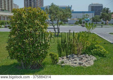 Selected Focus. Fresh Rosemary Herb Leaves Close-up . Green Rosemary Plants Rosmarinus Officinalis O