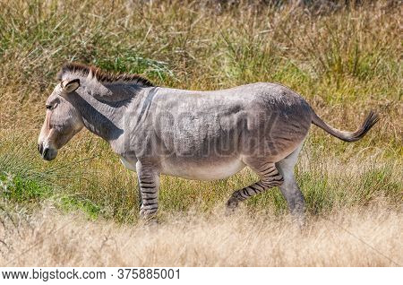 A Zonkey, A Cross Between A Donkey Mare And A Zebra Stallion