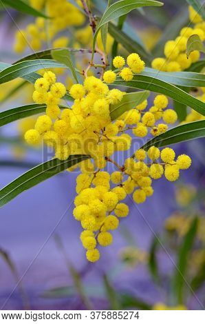 Flowers And Leaves Of The Australian Native Zig Zag Wattle, Acacia Macradenia, Family Fabaceae. Ende