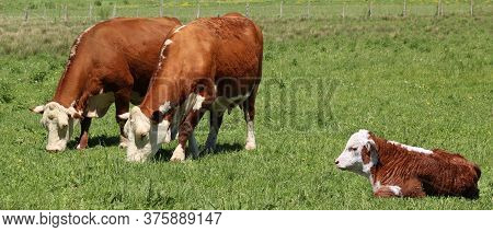 Two Hereford Cows Grazing Side By Side In The Pasture Field With Cute Young Calf Laying In The Foreg
