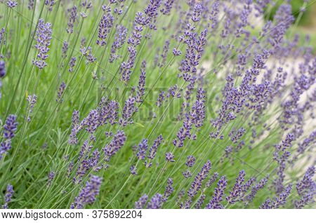 Side View Of A Flowerbed In A Summer Garden With Blooming Lavender