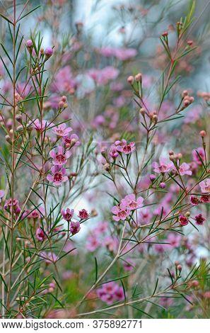 Pink Flowers Of The Australian Native Geraldton Wax, Chamelaucium Uncinatum, Family Myrtaceae, Endem