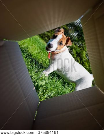 A Curious Dog Is Looking At Something Inside A Cardboard Box In A Park. Puppy Jack Russell Terrier P