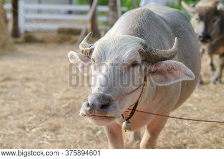Albino Buffalo With Small Bell On Neck. Pink Thai Water Buffalo Standing