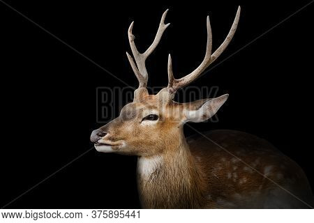 Spotted Deer Or Chitals Portrait On Black Background With Clipping Path. Wildlife And Animal Photo