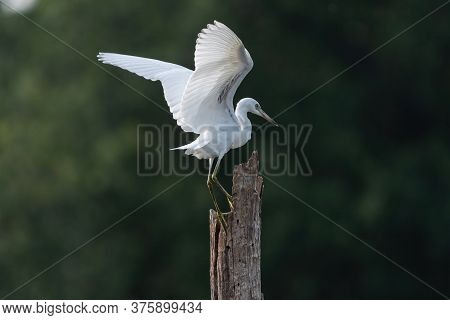 Snowy Egret Flapping Is Elegant White Wings As It Reaches Out With Its Long Legs To Grab Hold Of A D