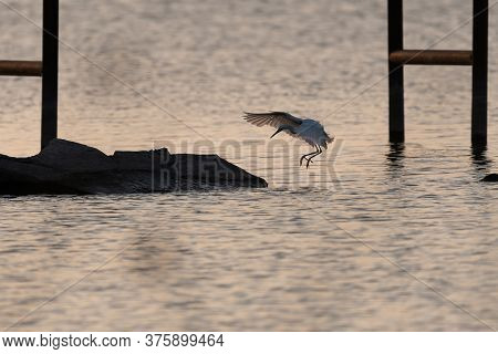 Snowy Egret Flapping Its Wings To Slow Down As It Comes In For A Landing On Some Rocks Under A Pier