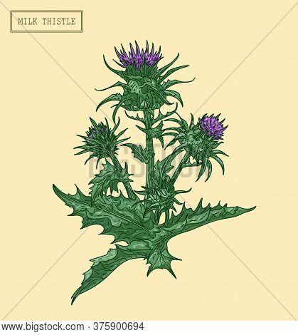Medical Milk Thistle Plant, Hand Drawn Botanical Illustration In A Vintage Style