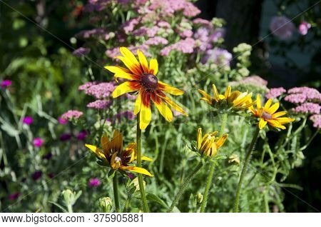 Rudbeckia Flower In Garden. Coneflower Or Sunflower Daisy. Floral Shop. Beauty Of Spring Nature. Sum