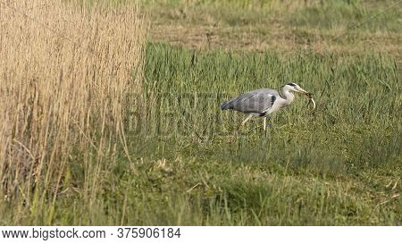 A Grey Heron Holding An Eel With Its Beak At The Wildfowl And Wetlands Trust London Wetland Centre,