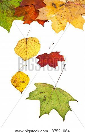 Dried Birch Aspen Maple And Many Autumn Leaves