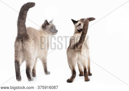 Two Cats Of The Thai Breed Stand Back To The Viewer