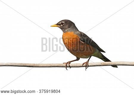 Profile Of A Robin Perched On A  Branch. Its Bright Orange Breast Is Prominently Displayed On A Whit